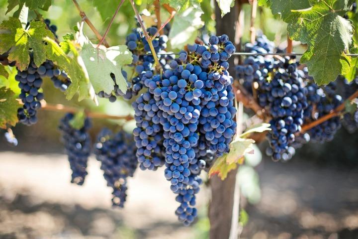 purple-grapes-553464_1920
